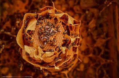 estudios amazonicos investiga las abejas sin aguijon del peru
