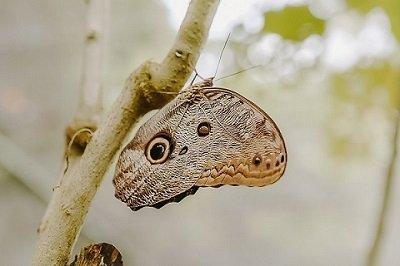 estudios amazonicos estudia los lepidopteros amazónicos con el fin de reproducir especies en peligro de perecer